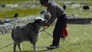 Yaks on the Tibetan Plateau