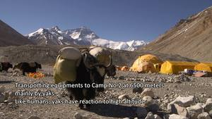 Tibet Short Documentaries— Yaks at the foot of Mount Everest