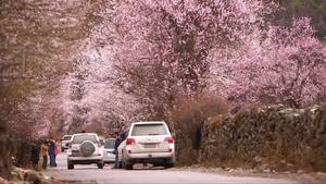 《西藏微纪录》—不一样的桃花节