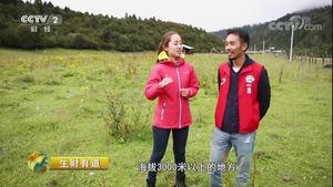 西藏鲁朗:风情美食生财忙
