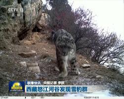 西藏怒江河谷发现雪豹群