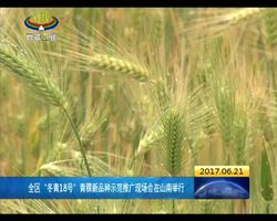 """西藏""""冬青18号""""青稞新品种示范推广现场会在山南举行"""