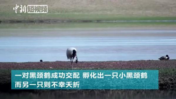 长江源水生态保护站捕捉黑颈鹤繁衍画面