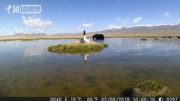 祁连山国家公园(青海片区)首次记录到黑颈鹤完整孵化行为