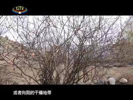 [西藏诱惑]曲水柳编的与众不同