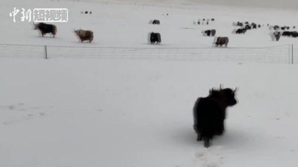 三江源腹地降雪致牛羊觅食困难