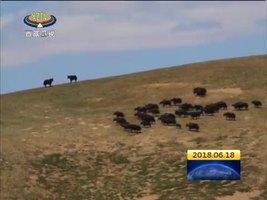 """拆除遗留网围栏 为藏羚羊迁徙""""让路"""""""