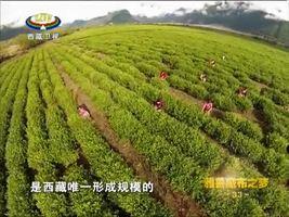 [西藏诱惑]自然的馈赠:茶叶