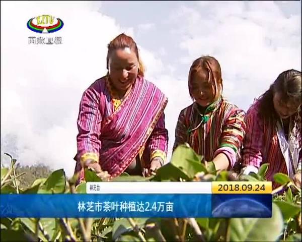 林芝市茶叶种植达2.4万亩