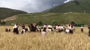 青海玉树藏族民众欢歌挥舞镰刀庆丰收