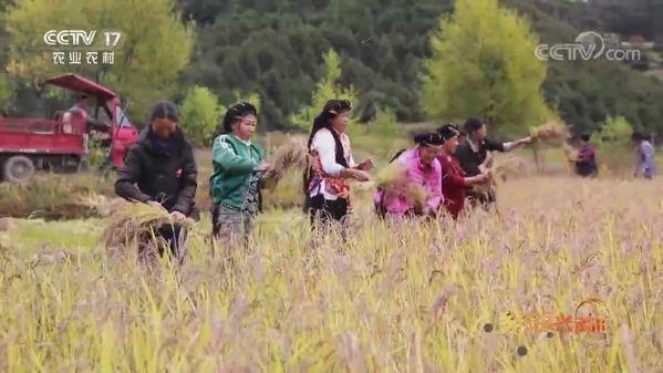 云南迪庆:高海拔水稻产区喜迎丰收