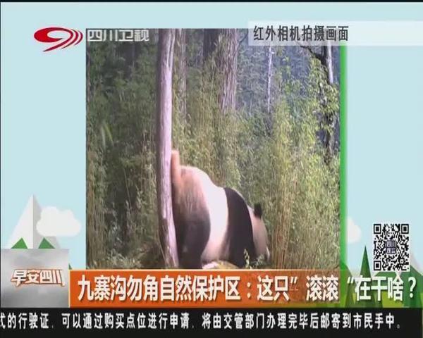 """四川九寨沟勿角自然保护区:这只""""滚滚""""在干啥?"""