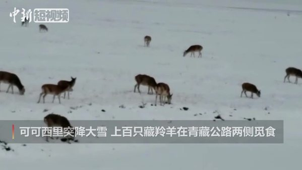 可可西里大雪后上百只藏羚羊路边觅食