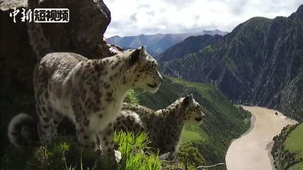 长江源头区域首次记录到两只雪豹在同一地点标记行为