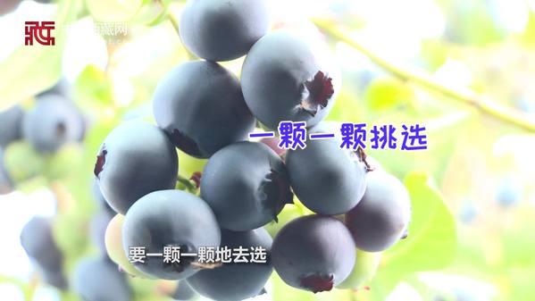 【香格里拉趣味知识小问答】蓝莓应该如何采摘?