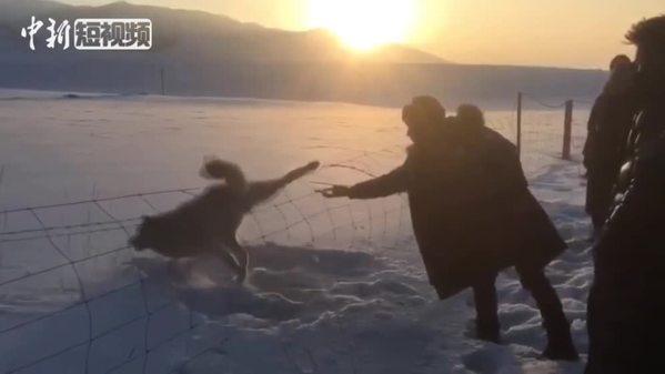 """""""跨栏失败"""" 一匹狼在青海湖畔牧场被救"""