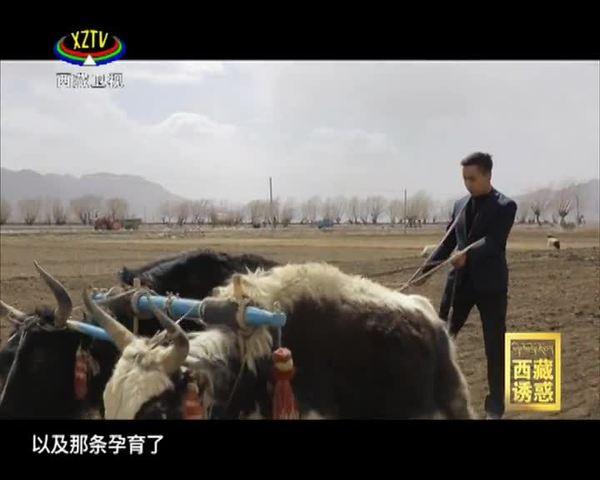《西藏诱惑》年楚河——青稞记忆