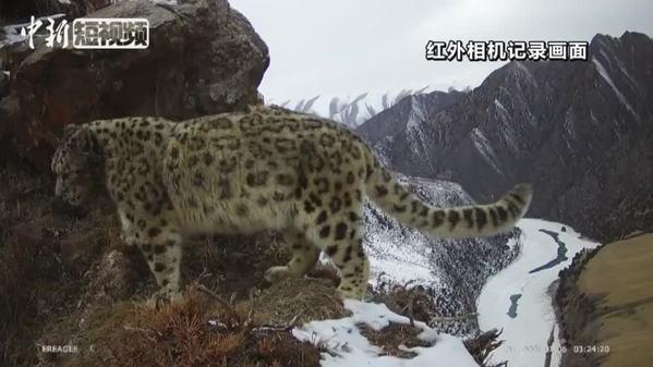 长江源头区域记录到雪豹完整标记行为