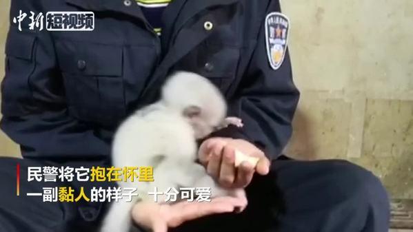 """超萌""""国宝""""小滇金丝猴被救助 缠着民警要抱抱"""