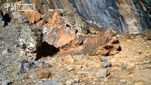 西藏一雪豹接连繁衍5只幼崽 种群繁殖与迁出更平衡