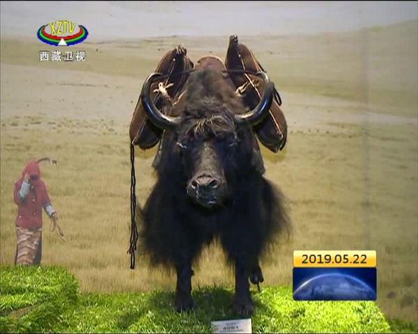 五年来西藏牦牛博物馆接待区内外参观者超70万人次