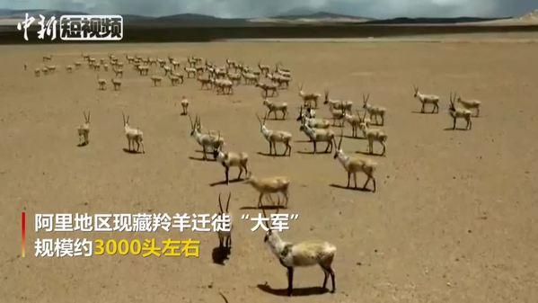 """壮观!西藏阿里地区现藏羚羊迁徙""""大军"""""""