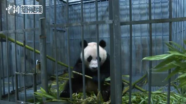 九寨沟被救大熊猫放归自然