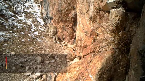 黄河源头区域首次监测到雪豹交配完整影像
