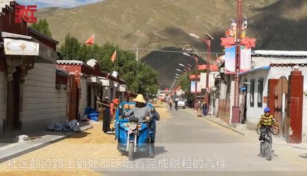 """青稞熟啦!在""""西藏民主改革第一村""""克松社区感受丰收的喜悦"""