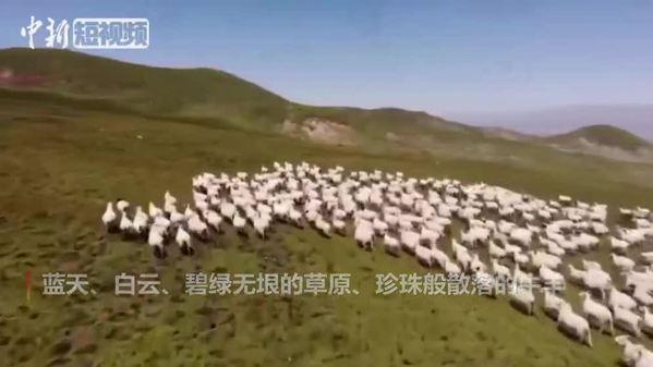 祁连山下好牧场 牛羊散落似珍珠