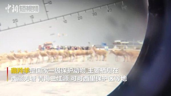 可可西里藏羚羊大规模回迁结束