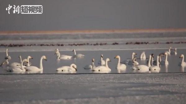 可鲁克湖吸引成群天鹅湖中飞舞