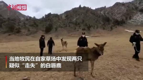 实拍长江源一级保护动物白唇鹿放归:恋恋不舍回归自然