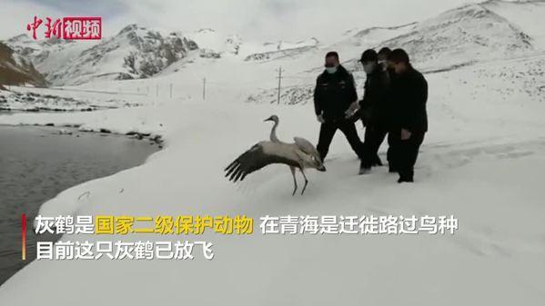 牧民在澜沧江源救助一只灰鹤 或为迷途落单
