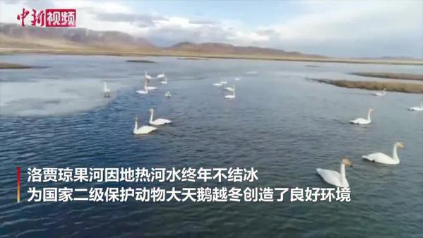 """千余只大天鹅""""歇脚""""四川若尔盖洛贾琼果河"""