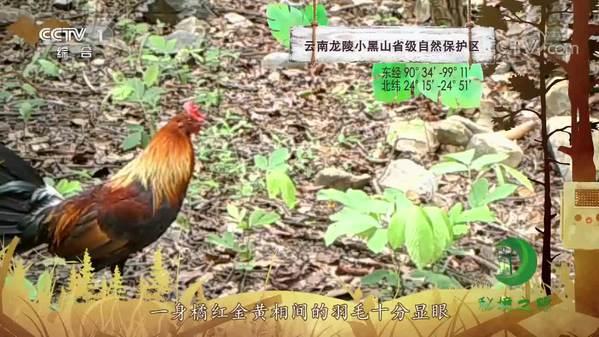 《秘境之眼》红原鸡