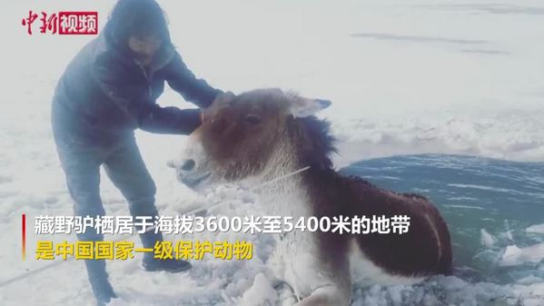 青海生态管护员成功救助落入冰河的藏野驴