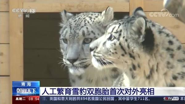 青海人工繁育雪豹双胞胎首次对外亮相