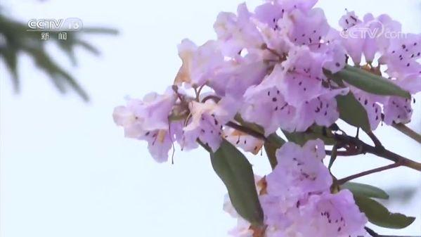 云南迪庆香格里拉迎来春雪 杜鹃花雪中盛开