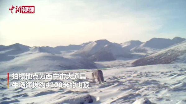 青海西宁首次监测到雪豹 距离市中心仅约150公里