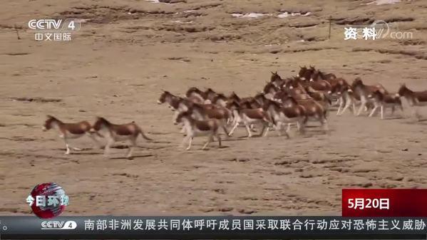 青海:发现藏野驴种群 数量多达上百头