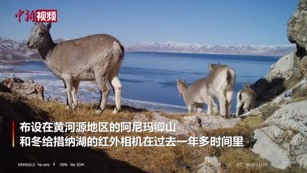 黄河源地区记录到多种野生动物