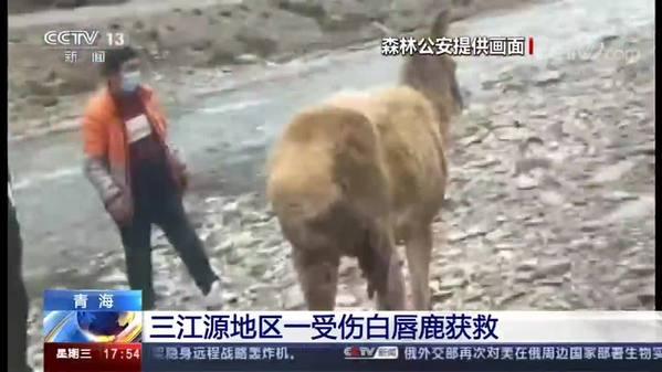 青海三江源地区一受伤白唇鹿获救