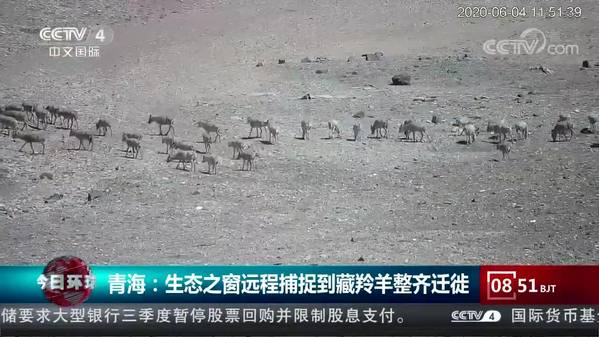 青海:生态之窗远程捕捉到藏羚羊整齐迁徙