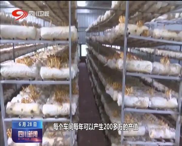 四川雅江:产业园里菌飘香