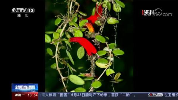 """西藏 :""""隐世""""百年植物贝叶芒毛苣苔被发现"""