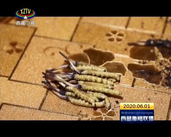 西藏积极推进冬虫夏草地方标准制定工作
