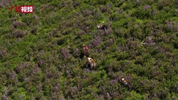 场面温馨!海拔4500米高原上的棕熊妈妈与熊宝宝们