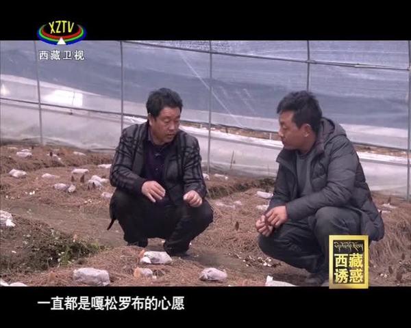 《西藏诱惑》羊肚菌熟了