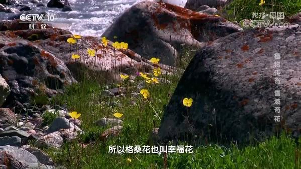 《地理·中国》植物传奇·雪域奇花
